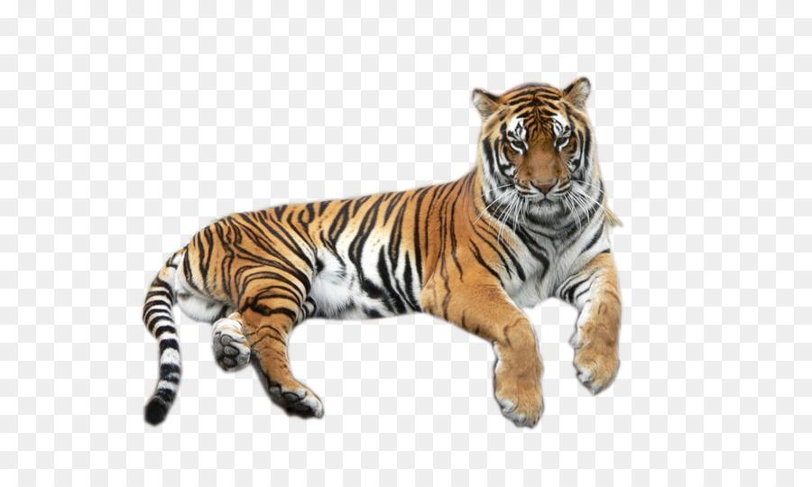 Bengal Tiger Lion White Tiger Wildlife Tiger Png Download 700