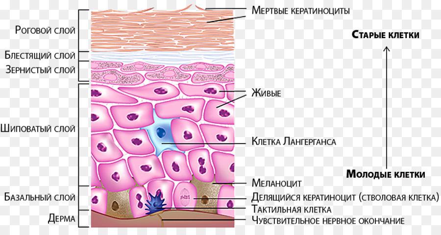La piel humana de los Melanocitos de la Epidermis del Nervio sistema ...
