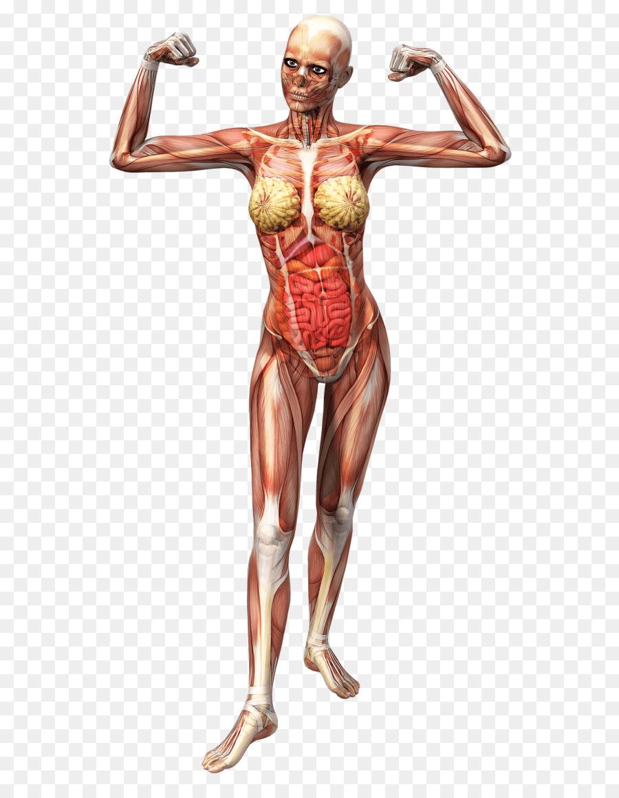 Anatomy Human body Human skeleton Fascia T-shirt - T-shirt png ...