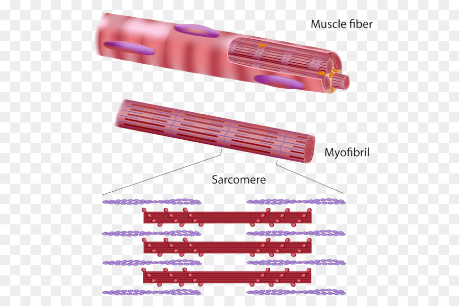 Skeletal Muscle Myofibril Muscle Tissue Muscle Contraction Muscular