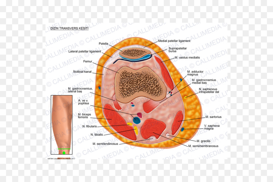 Transverse ligament of knee Anatomy Limb Cross section - chef 3d png ...