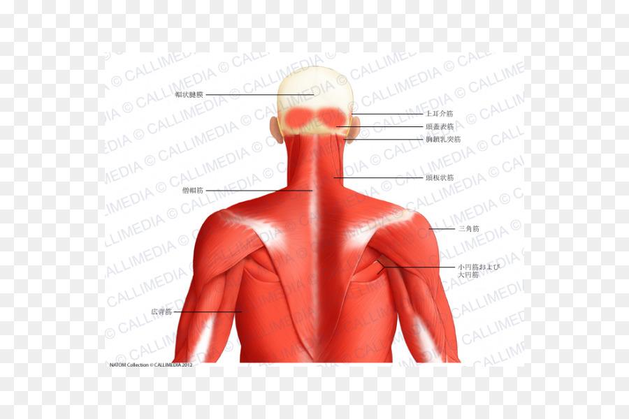 Músculo triángulo Posterior del cuello, la Cabeza y el cuello de la ...
