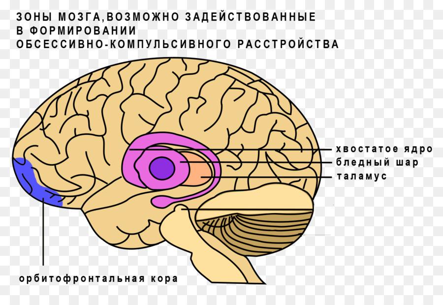 basal ganglia caudate nucleus brain ganglion brain png download