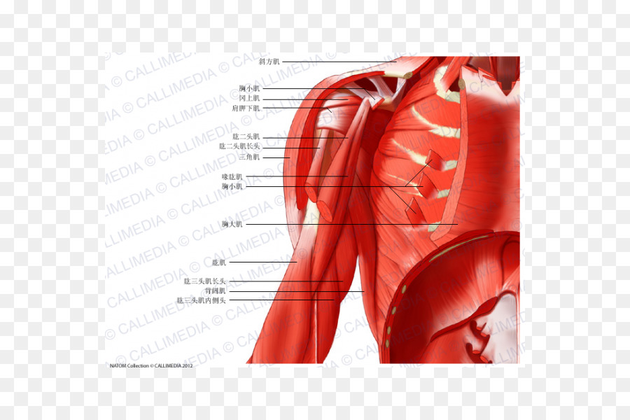 Músculo plano Coronal Brazo de la Anatomía del Cuello - brazo ...