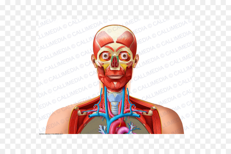 Homo sapiens Human Anatomy & Physiology Shoulder Neck Blood vessel ...
