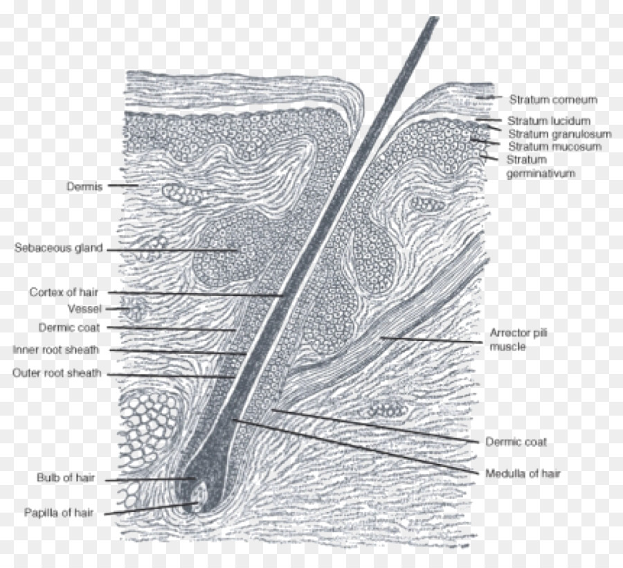 Hair follicle Anatomy Sebaceous gland Matrix - hair png download ...