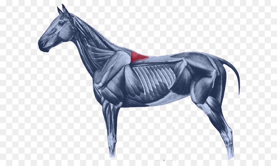 Mongol Recto anterior de la cabeza músculo Splenius de la cabeza ...