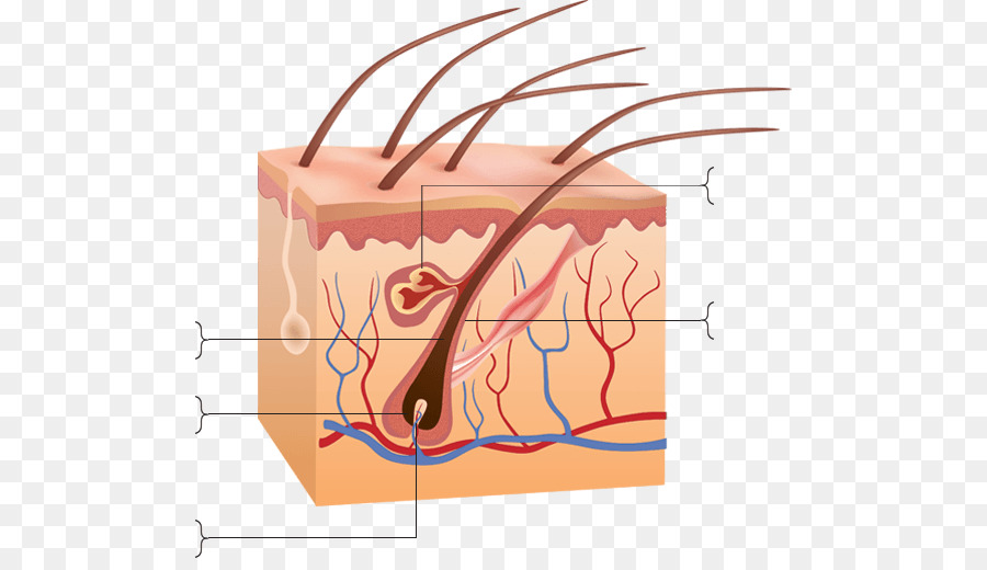 Human skin Anatomy Clip art - hair follicle png download - 544*509 ...