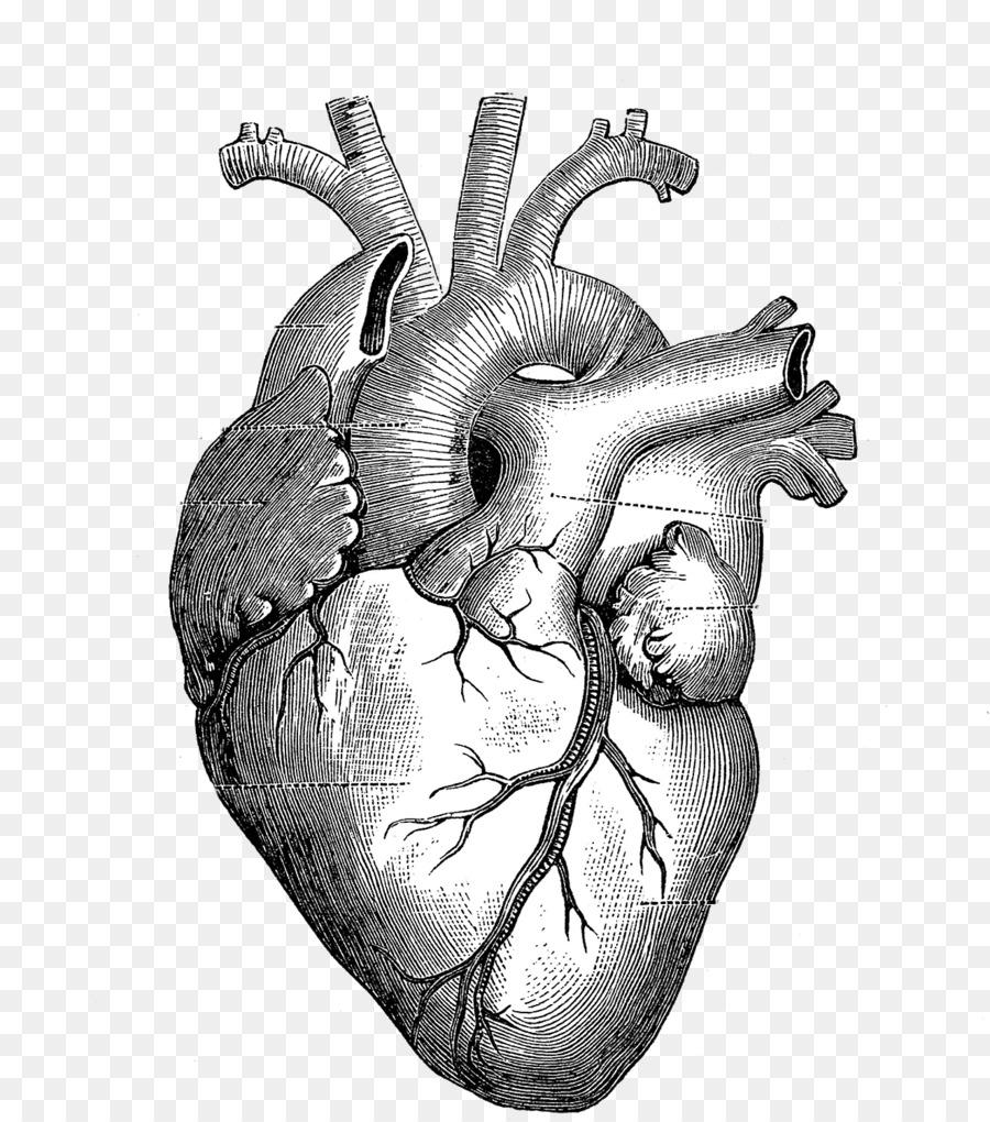 Drawing Anatomy Heart Diagram Download 13251500