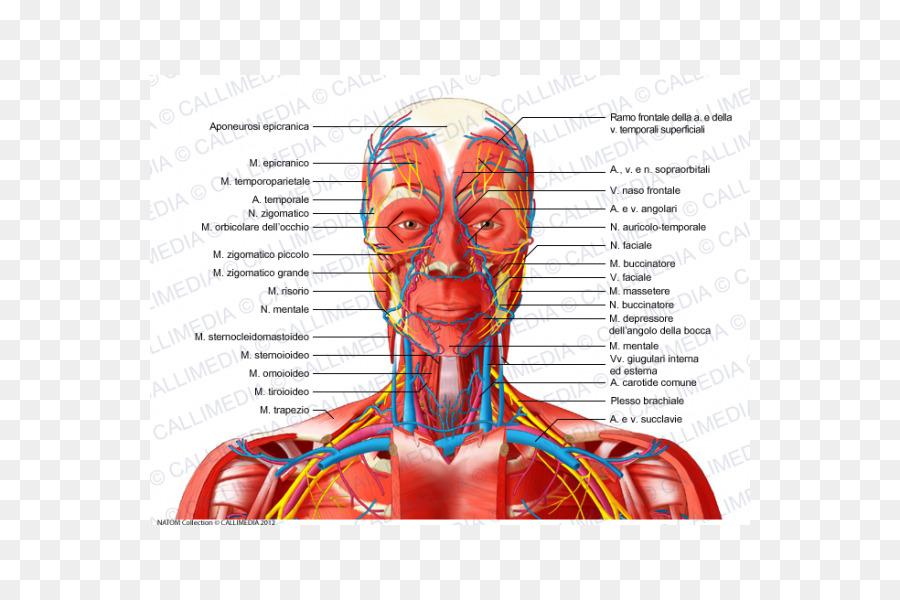 Cabeza y cuello anatomía triángulo Anterior del cuello de los vasos ...