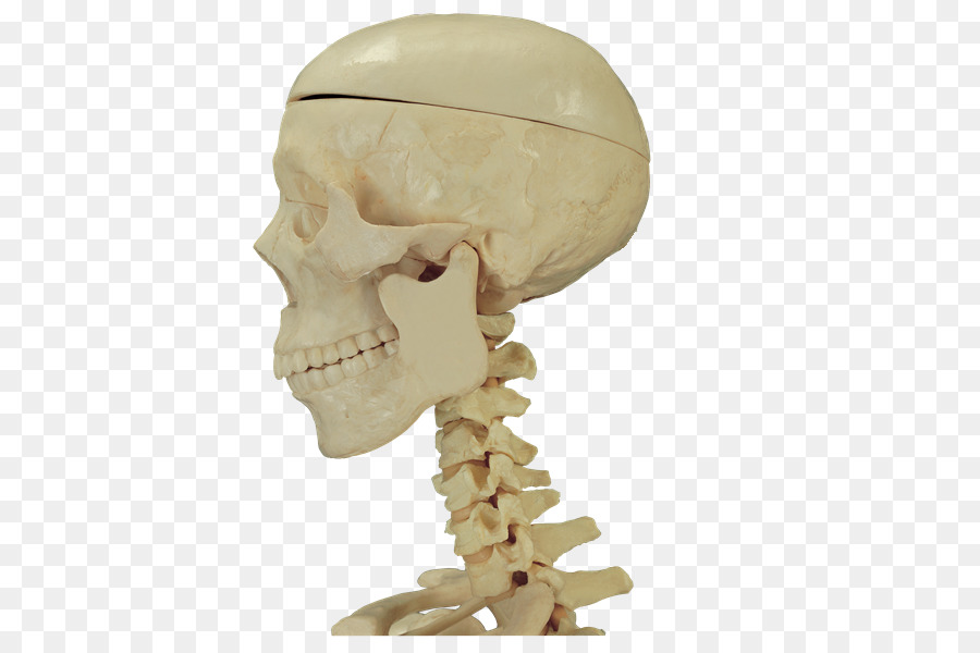 Hueso del Cráneo de la anatomía Humana - Anatomía Formatos De ...