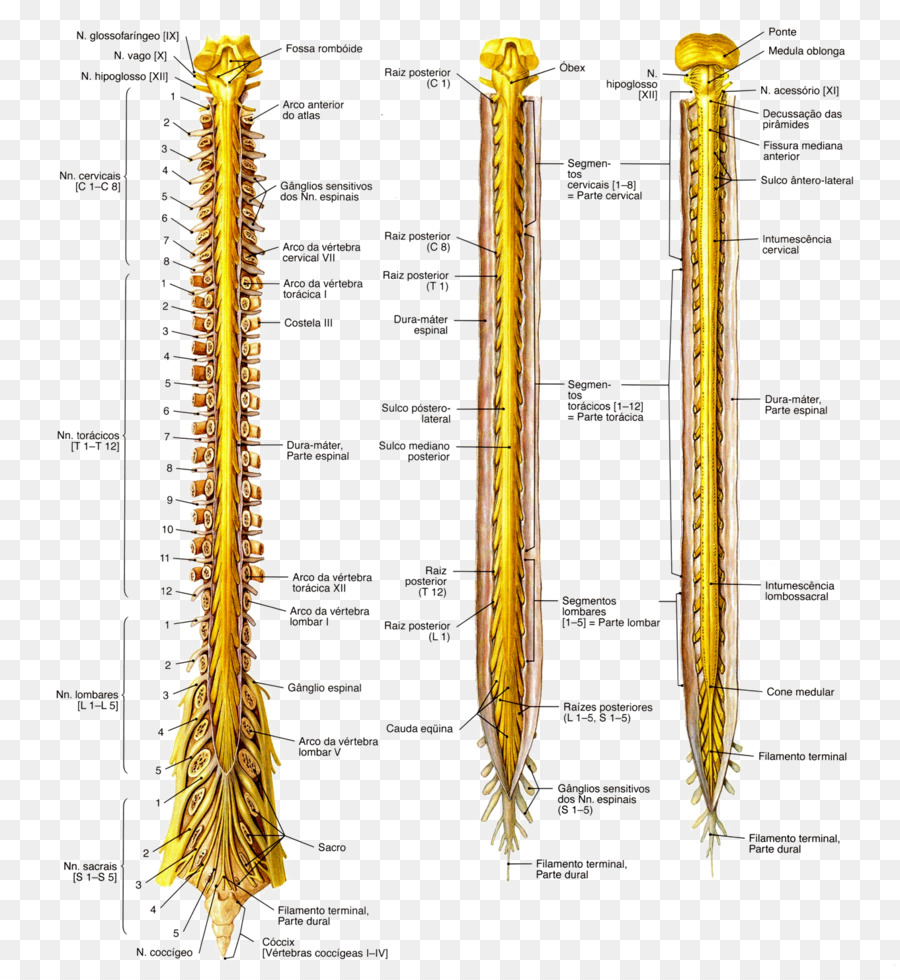 Anatomy Spinal cord Nervous system Medulla oblongata Nerve - others ...