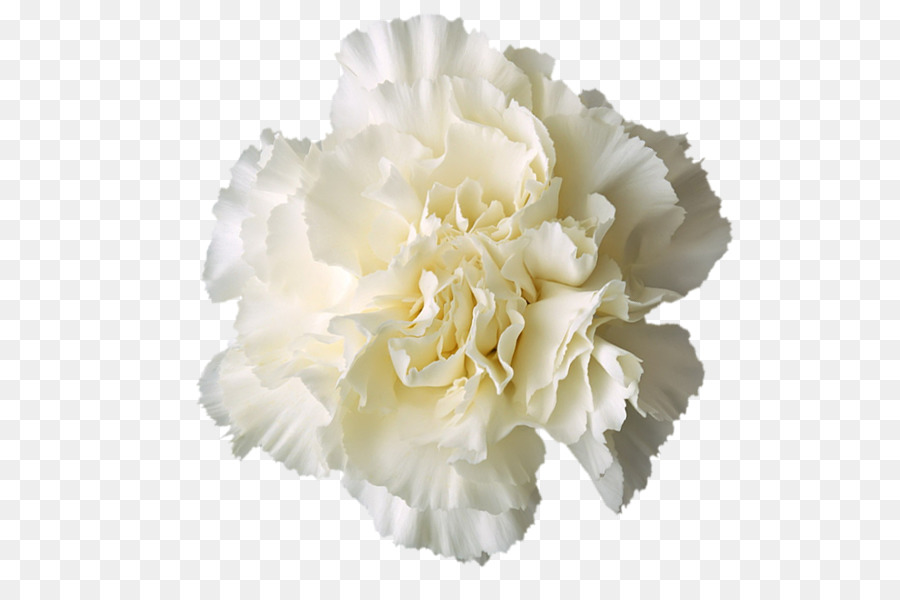 Carnation Boutonnière White - flower png download - 600*581 - Free ...
