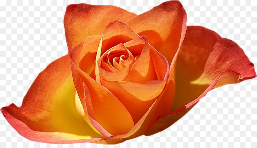 Jardin De Roses Fond D Ecran Fleur Rose Telechargement Png 1200
