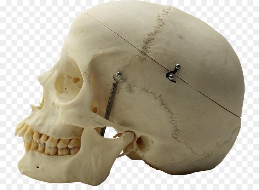Cráneo esqueleto Humano anatomía Humana - Anatomía Formatos De ...