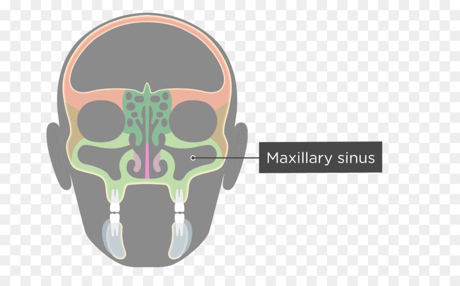 Facial skeleton Maxillary sinus Skull Ethmoid bone - skull png ...