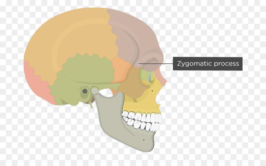 Skull Frontal bone Human skeleton Zygomatic process Zygomatic bone ...
