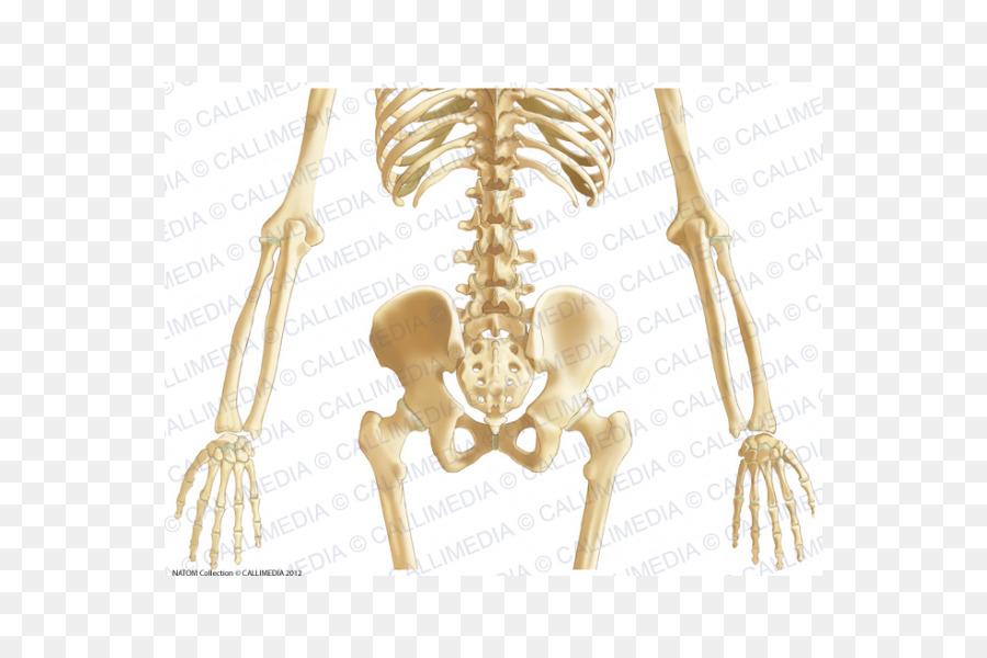 La Pelvis Ósea Abdomen Anatomía Del Ligamento - abdomen anatomía ...