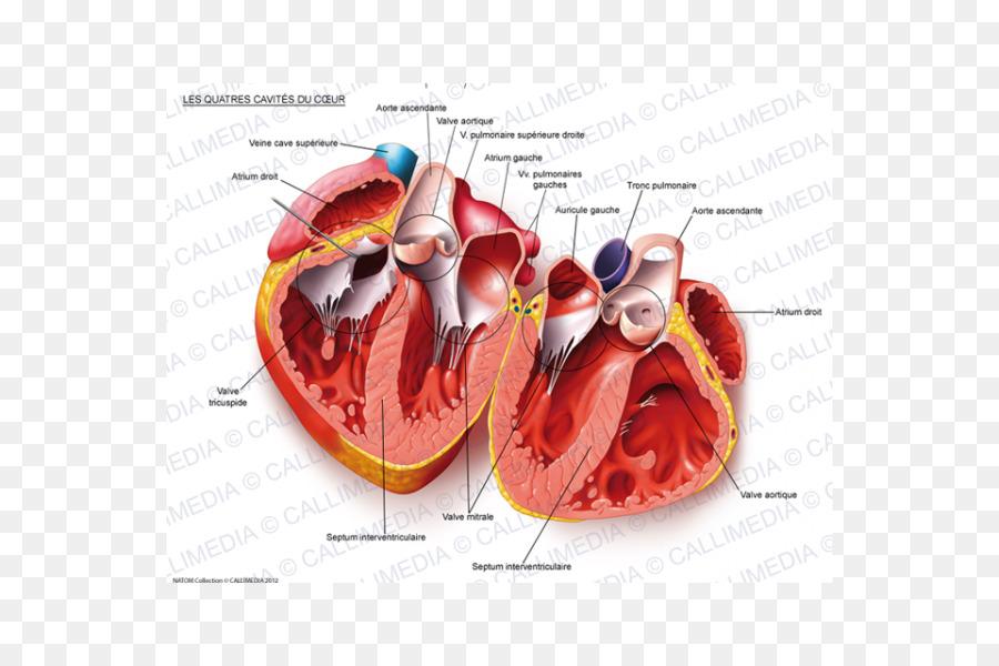 Heart Human Anatomy Body Cavity Circulatory System Heart 600600