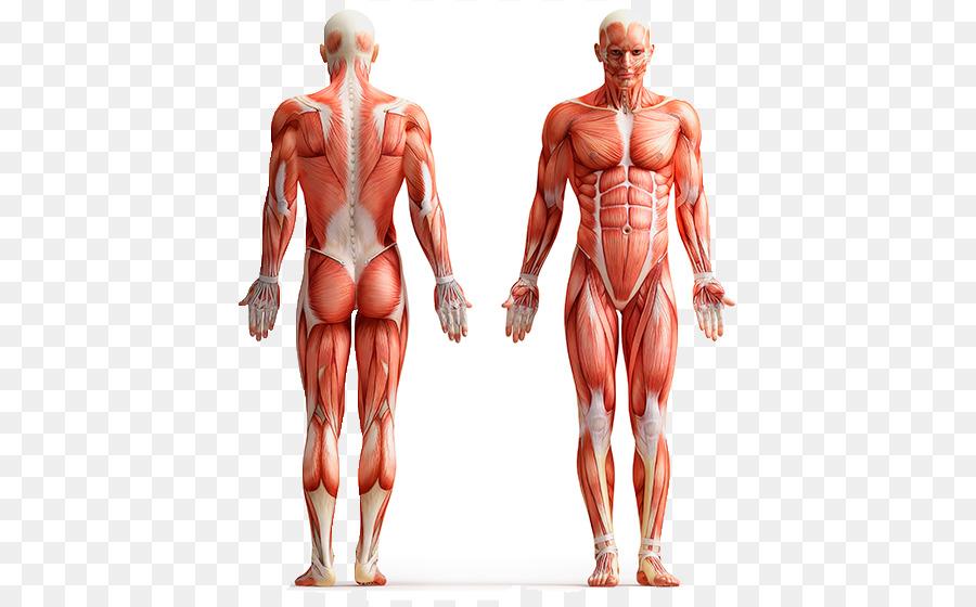 Humanos de la anatomía del cuerpo Humano Músculos de la Pared ...