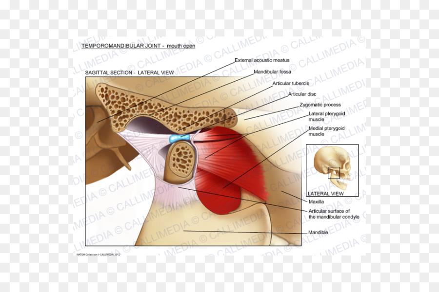 Temporomandibular joint dysfunction Anatomy Mandible - skull 600*600 ...