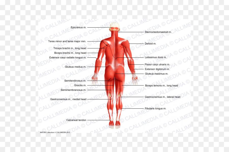 Músculo del pulgar Homo sapiens de la Anatomía del cuerpo Humano ...