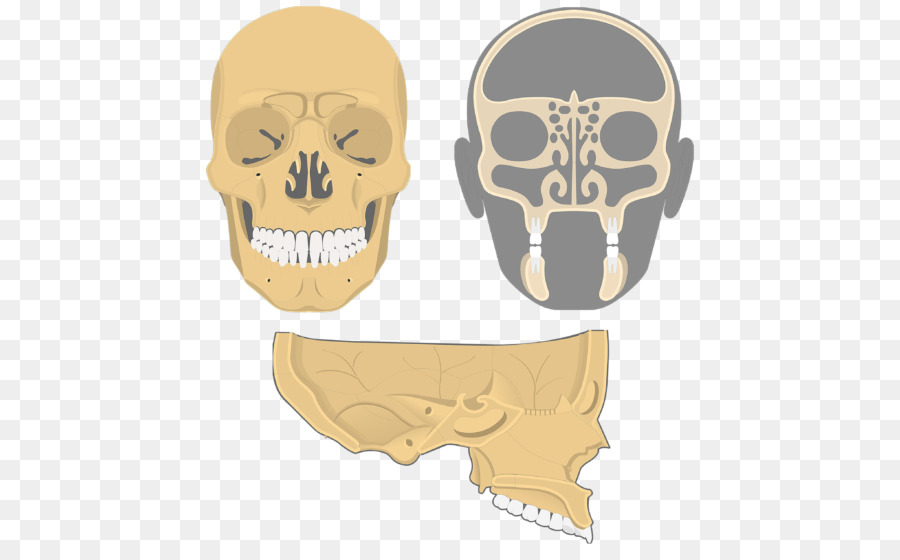 Cráneo Etmoides hueso del esqueleto Facial hueso Frontal Seno ...