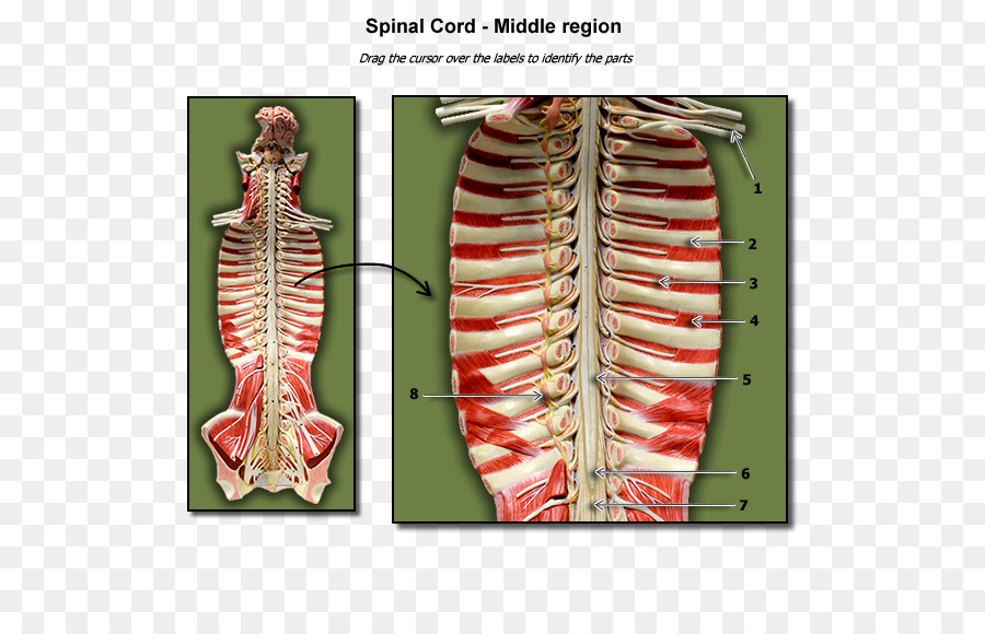 Spinal Cord A Visual Analogy Guide To Human Anatomy Biology Others