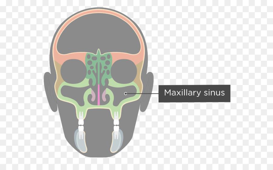 Paranasal Sinuses Ethmoid Sinus Ethmoid Bone Facial Skeleton