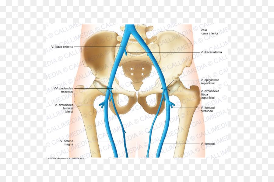 Vein Pelvis Forearm Anatomy - arm png download - 600*600 - Free ...