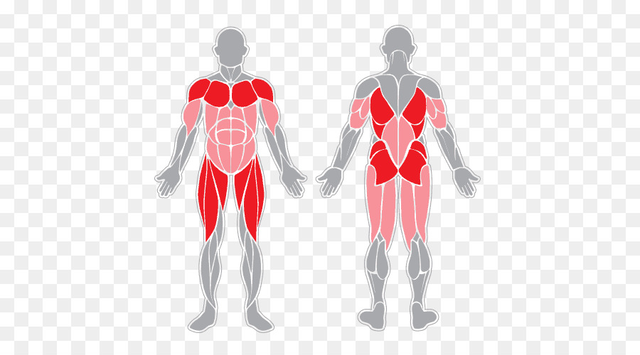 Sartorius Muscle Muscular System Human Body Skeletal Muscle Muscle