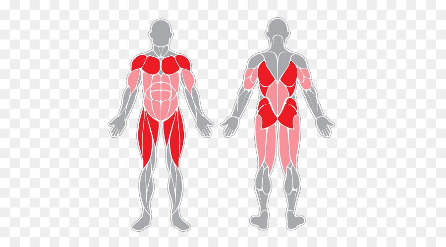 Músculo sartorio sistema Muscular del cuerpo Humano músculo ...