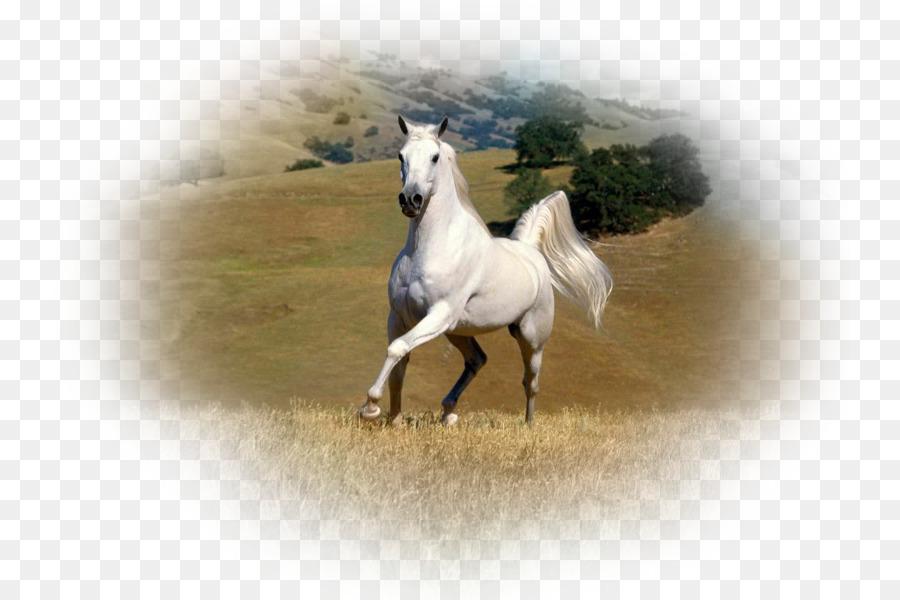 American Paint Horse Arabian Friesian Mustang Stallion