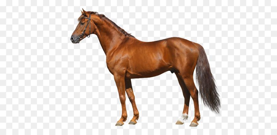 American Caballo Miniatura Mustang para el cuidado de Caballos Niño ...