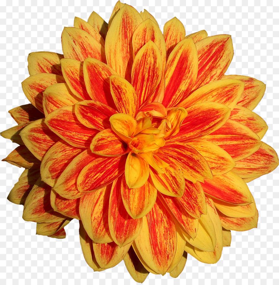 Dahlia Flower Flower Png Download 12591280 Free Transparent