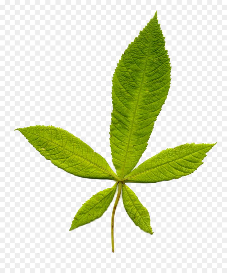 Leaf Plant Stem Wikipedia Information Leaf Png Download 2979