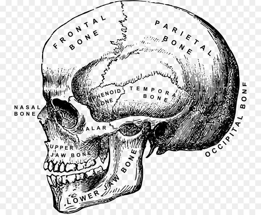 Anatomía humana, cuerpo Humano, Cráneo Cabeza y cuello anatomía ...