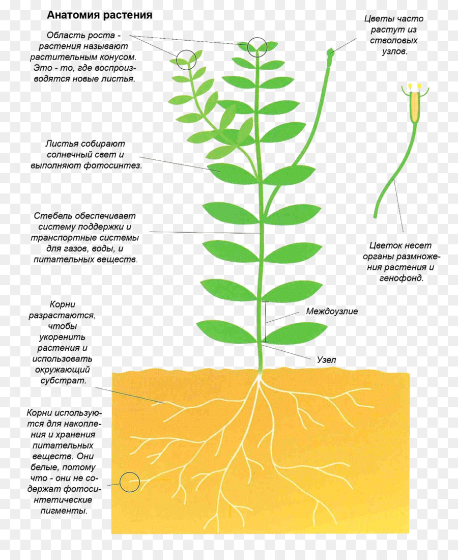 Diagram Plant stem - Plant Anatomy png download - 960*1156 - Free ...