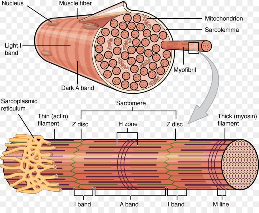 El músculo esquelético de los Miocitos de la Célula Muscular ...