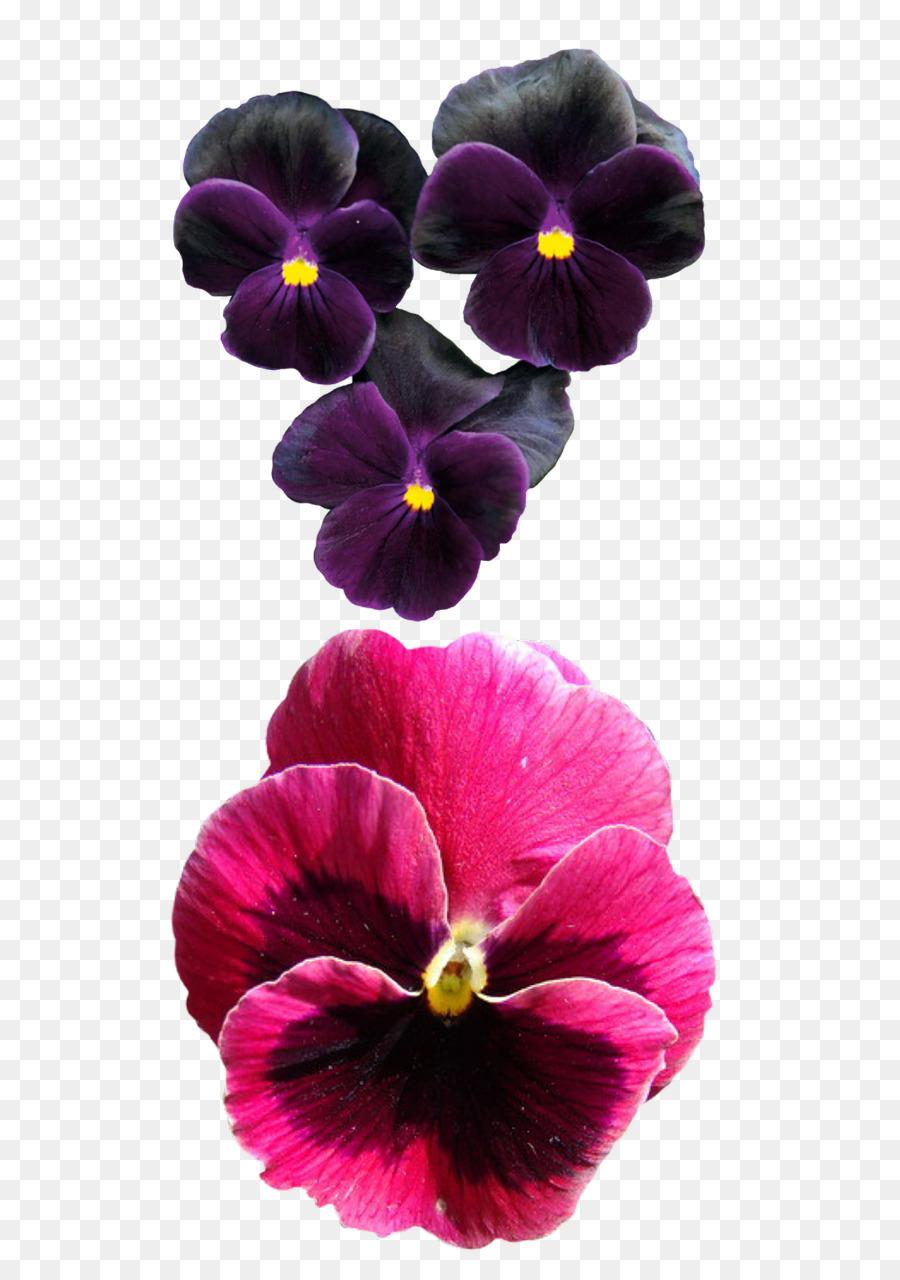 Pansy Fleur De Violette Dessin Pansy Fleur Telechargement Png