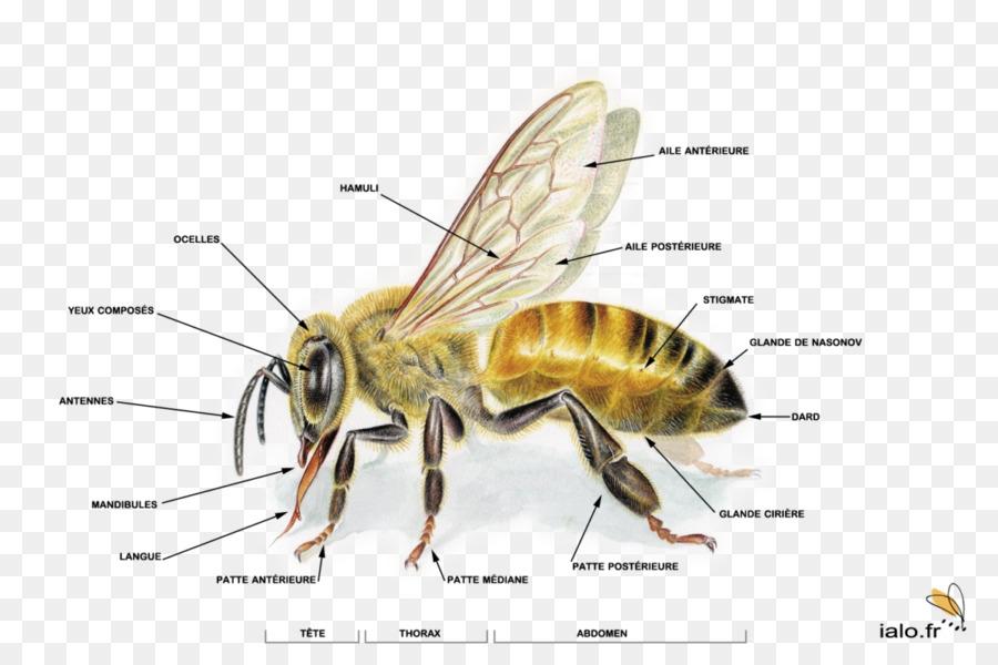 El oeste de la miel de abeja la Miel de abeja ciclo de vida de la ...