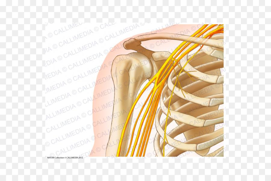 Anatomía humana Hombro Hueso al cuerpo Humano - brazo Formatos De ...
