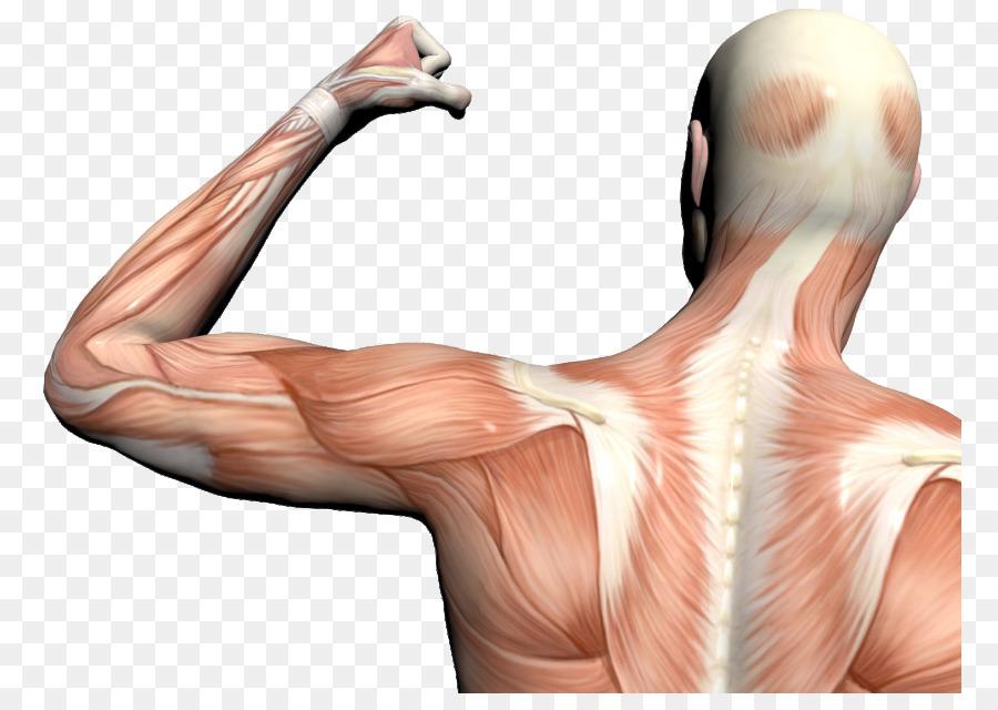 Cuerpo humano, dolor Muscular, Dolor de Anatomía - otros png dibujo ...
