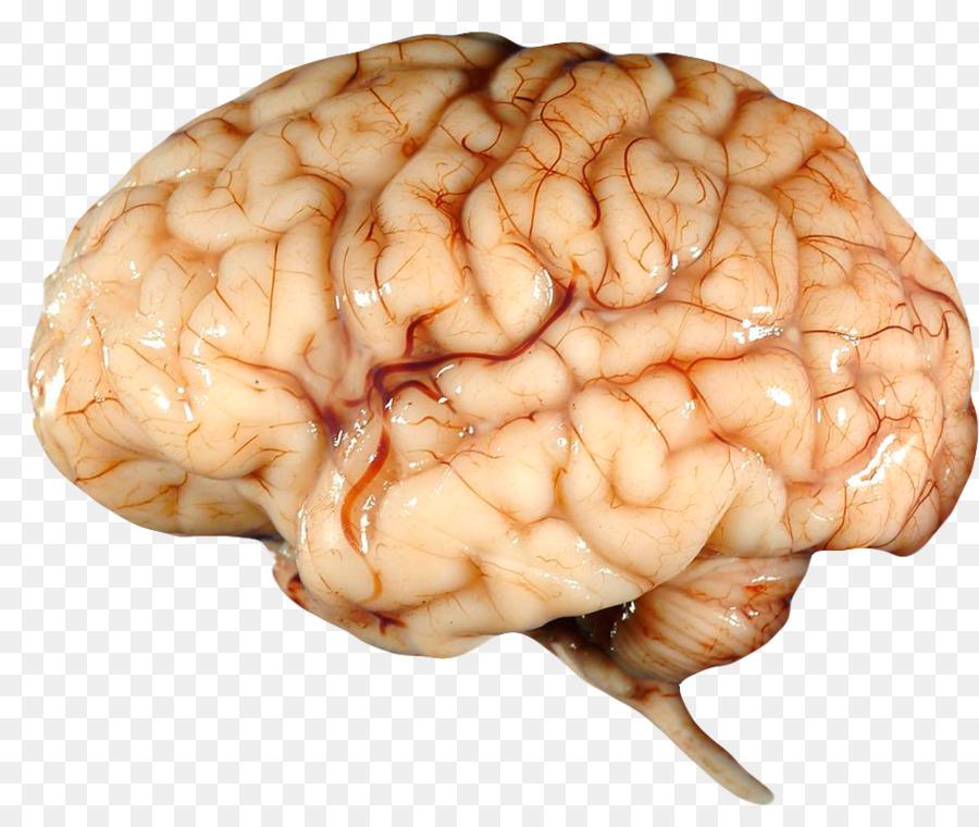 Human Brain Human Body Albert Einsteins Brain Nervous System