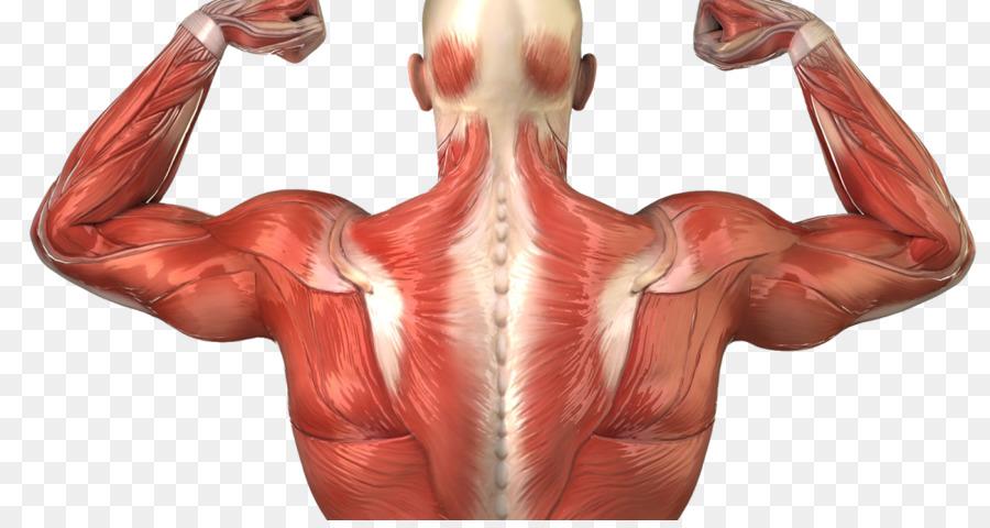 Cuerpo humano espalda Humana Anatomía Muscular sistema Muscular ...