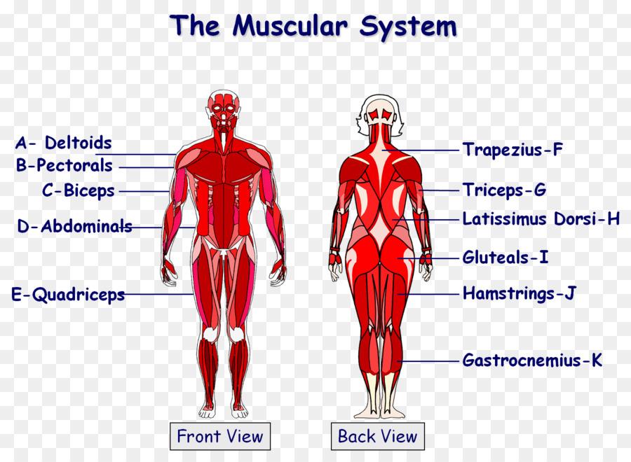 El Sistema Muscular Anatómica Gráfico cuerpo Humano Muscular ...