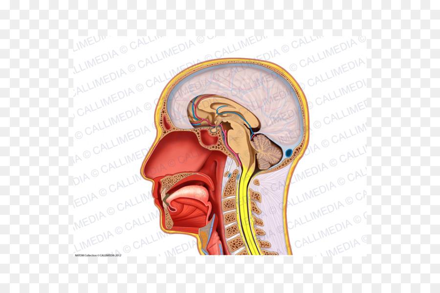 La oreja de la Cabeza del Cráneo de Cuello plano Sagital - oído ...