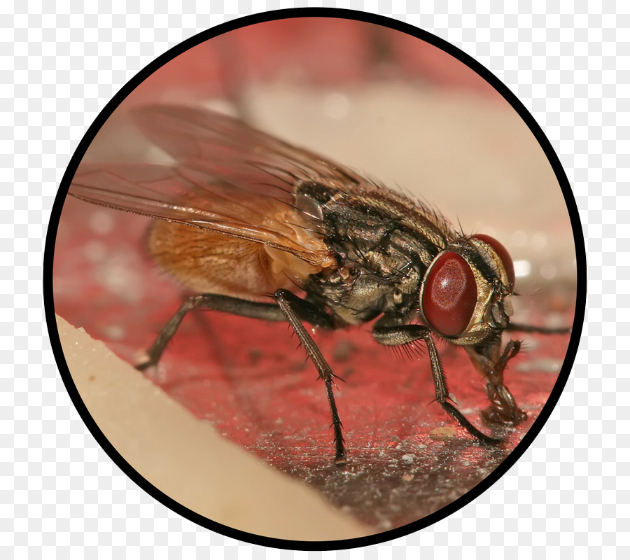 Insect Housefly Pest Control - insect png download - 800*800 - Free ...