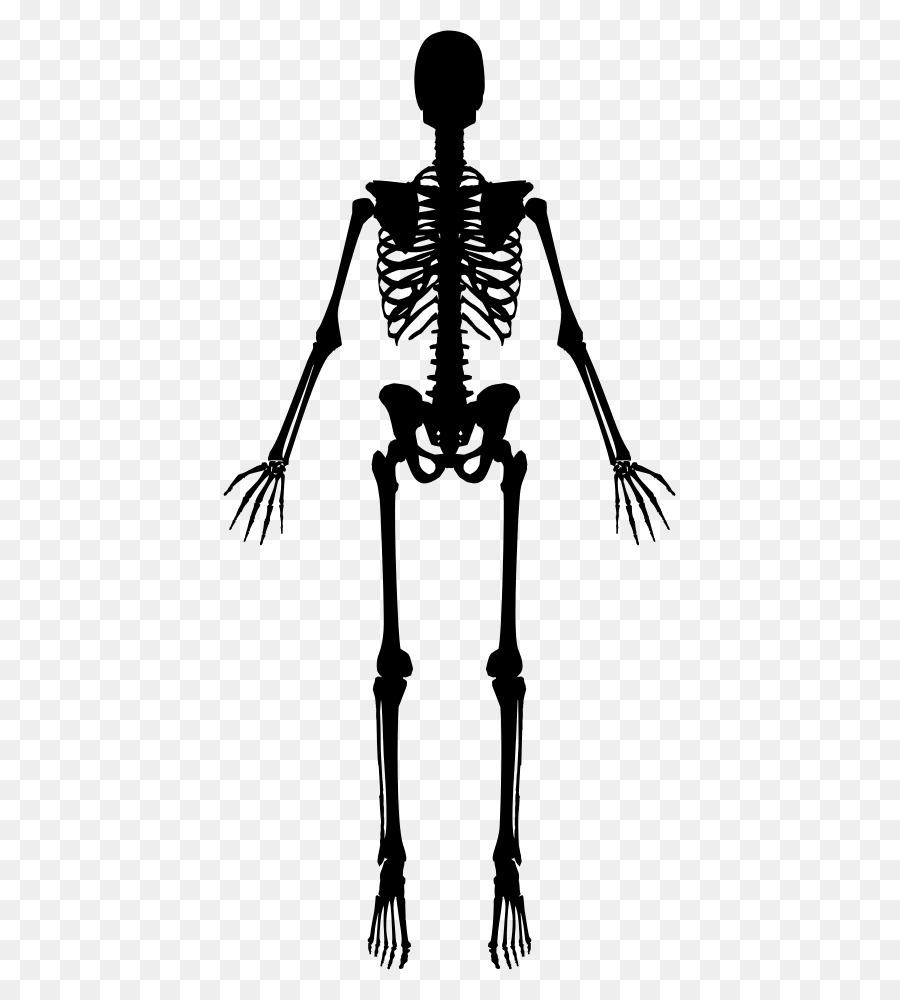 Human Skeleton Clip Art Skelett Png Herunterladen 5331000