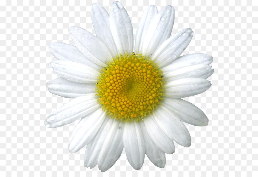 Commune De Marguerite Marguerite Fleurs De Camomille La Camomille
